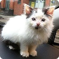 Adopt A Pet :: Shaw - Brooklyn, NY