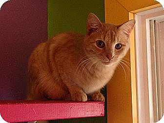 Domestic Shorthair Cat for adoption in Topeka, Kansas - Cyrus