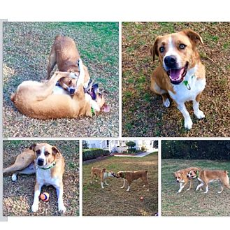 Boxer/Australian Cattle Dog Mix Dog for adoption in Acton, California - Red & Blue