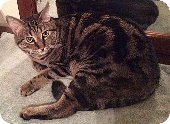 Domestic Shorthair Cat for adoption in Smithfield, North Carolina - Clyde SPECIAL ADOPTION FEE