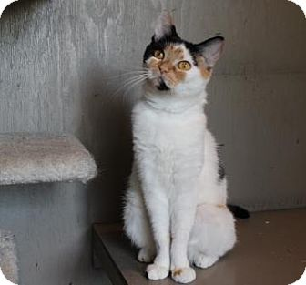 Domestic Shorthair Cat for adoption in Lathrop, California - Clarabell