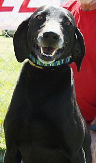 Labrador Retriever Mix Dog for adoption in Grayson, Louisiana - Black Jack