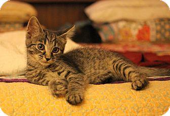 Domestic Shorthair Kitten for adoption in Carlisle, Pennsylvania - Eve