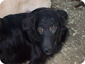 Flat-Coated Retriever Mix Puppy for adoption in Portland, Maine - Morris