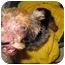 Photo 3 - Yorkie, Yorkshire Terrier Puppy for adoption in West Palm Beach, Florida - Sandee