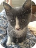 Domestic Shorthair Kitten for adoption in Brooklyn, New York - Bing