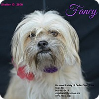 Adopt A Pet :: Fancy - Plano, TX