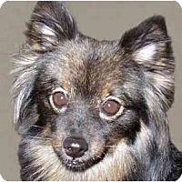 Adopt A Pet :: Priscilla - New York, NY