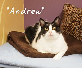 Domestic Shorthair Cat for adoption in Ocean City, New Jersey - Andrew