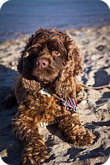 Cocker Spaniel Dog for adoption in Orange, California - Coco Bear