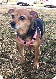 Chihuahua/Terrier (Unknown Type, Small) Mix Dog for adoption in Boca Raton, Florida - Dakota
