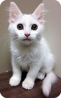 Domestic Mediumhair Kitten for adoption in Downers Grove, Illinois - ADOPTED!!!   Dorothy
