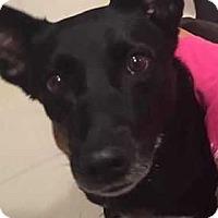Labrador Retriever/Shepherd (Unknown Type) Mix Dog for adoption in San Angelo, Texas - Zoey