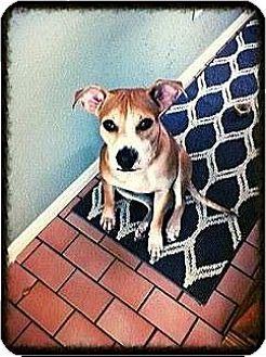 Beagle/Labrador Retriever Mix Dog for adoption in Houston, Texas - Sandy