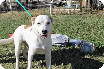Parson Russell Terrier/Foxhound Mix Dog for adoption in Whitewright, Texas - Beaux