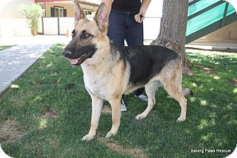 German Shepherd Dog Dog for adoption in Phoenix, Arizona - Meg