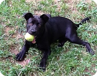 Labrador Retriever Mix Puppy for adoption in Richmond, Virginia - Hazel