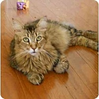 Adopt A Pet :: Gorgeous Polydactyl Maine Coon - Elkton, MD