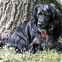 Adopt A Pet :: Pepper - NJ - Jacobus, PA