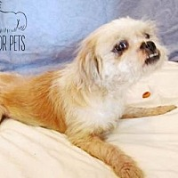 Lhasa Apso Mix Dog for adoption in Troy, Illinois - Shoney fka Honey Fostered (Dawn M)