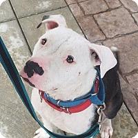 American Pit Bull Terrier Dog for adoption in Boston, Massachusetts - Mikey