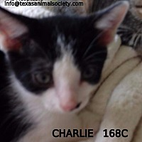 Domestic Shorthair Cat for adoption in Spring, Texas - Charlie