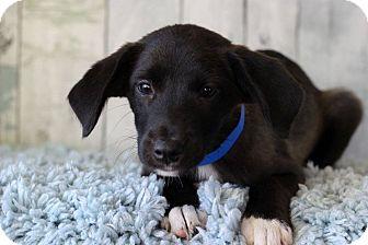 Boxer/Labrador Retriever Mix Puppy for adoption in Waldorf, Maryland - Malik