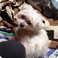 Maltese Dog for adoption in Benton, Pennsylvania - Molly