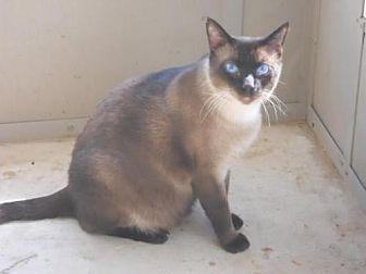Siamese Cat for adoption in San Antonio, Texas - Landon