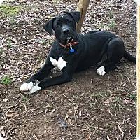 Adopt A Pet :: Leo 2 meet me 2/17 - Manchester, CT