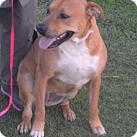 Boxer/Labrador Retriever Mix Dog for adoption in Manchester, New Hampshire - Ginger