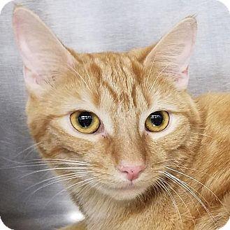 Domestic Shorthair Cat for adoption in New York, New York - Nikiya (aka Nikki)