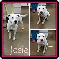 Adopt A Pet :: Josie - Steger, IL