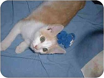 Domestic Shorthair Cat for adoption in Stuarts Draft, Virginia - Marty