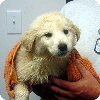 Golden Retriever/Labrador Retriever Mix Puppy for adoption in Greencastle, North Carolina - Vincent