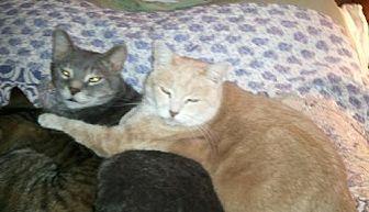 Domestic Shorthair Cat for adoption in Kohler, Wisconsin - Bianca