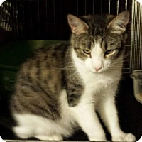 Domestic Shorthair Cat for adoption in Chino, California - Brad