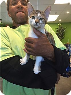 Domestic Shorthair Kitten for adoption in Barnwell, South Carolina - Fischer