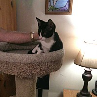 Domestic Shorthair Kitten for adoption in Fayetteville, Tennessee - Dante