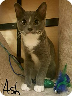 Domestic Shorthair Cat for adoption in Gainesville, Virginia - Ash