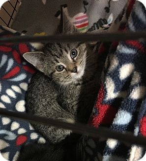 Domestic Shorthair Kitten for adoption in Loogootee, Indiana - Bindi