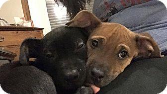 Labrador Retriever/American Staffordshire Terrier Mix Puppy for adoption in bridgeport, Connecticut - Leia