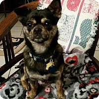 Chihuahua/Pug Mix Dog for adoption in Clifton, Texas - Pickles