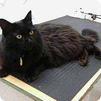 Adopt A Pet :: Miss Blacky (COURTESY POST) - Baltimore, MD