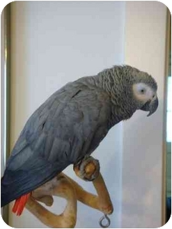 African Grey for adoption in Salt Lake City, Utah - Mithrandir
