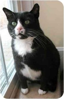 Domestic Shorthair Cat for adoption in Plainville, Massachusetts - Stanley