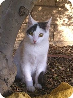 Domestic Shorthair Kitten for adoption in Irvine, California - ANDY