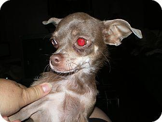 Chihuahua Dog for adoption in Apex, North Carolina - Luvalee