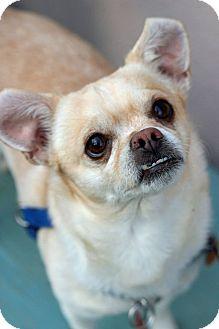 Chihuahua Mix Dog for adoption in Tinton Falls, New Jersey - Koko
