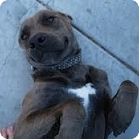 Adopt A Pet :: DIAMOND - Valley Village, CA